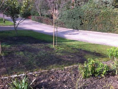 Another lawn before it is treated by Greenthumb Gravesend