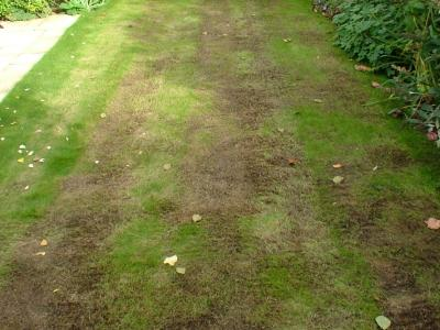 The same customer's Lawn but before GreenThumb Newbury had treated it.