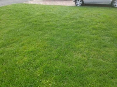 A customers lawn after scarification