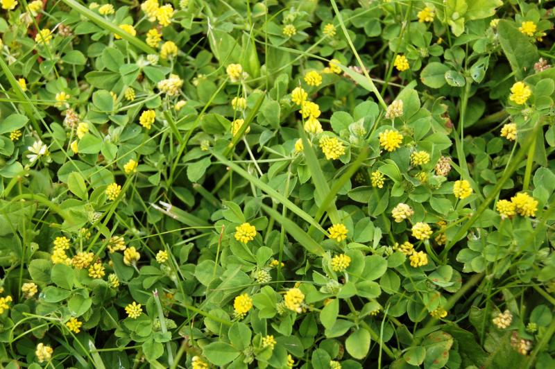 Yellow clover weed zo24 roccommunity very lawn problems help advice greenthumb lawn treatment service my04 mightylinksfo