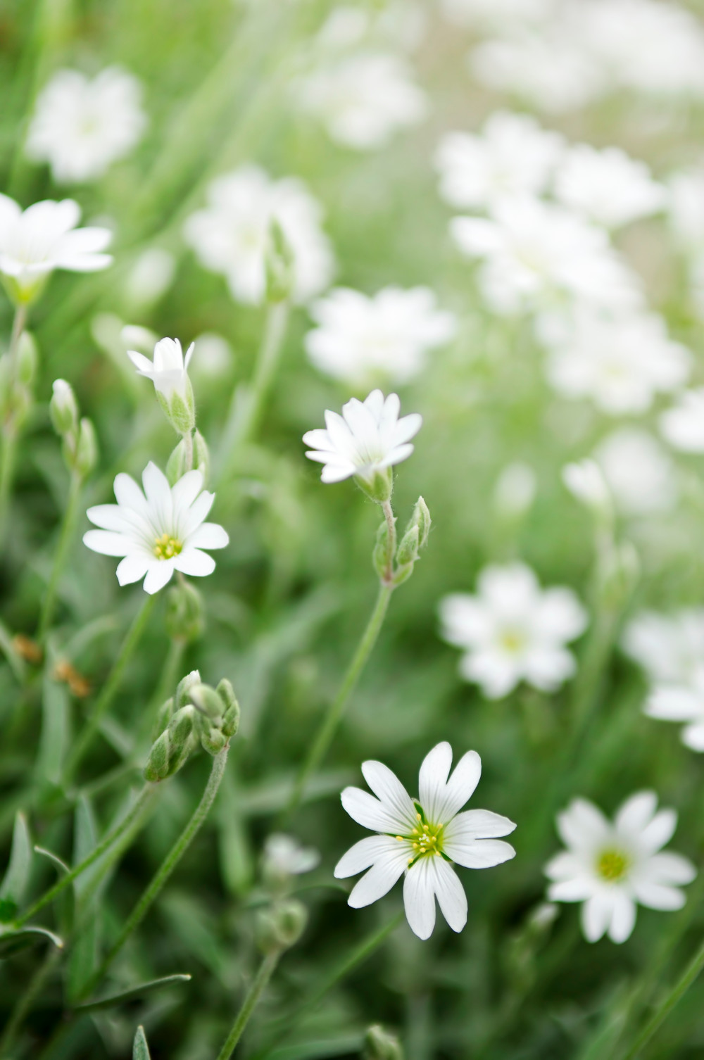 Weeds greenthumb lawn treatment service common mouse ear chickweed dhlflorist Image collections