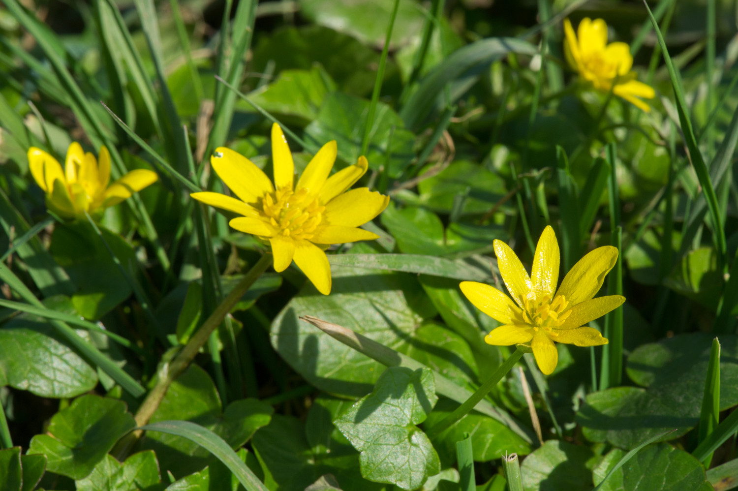 Weeds greenthumb lawn treatment service lesser celandine dhlflorist Image collections