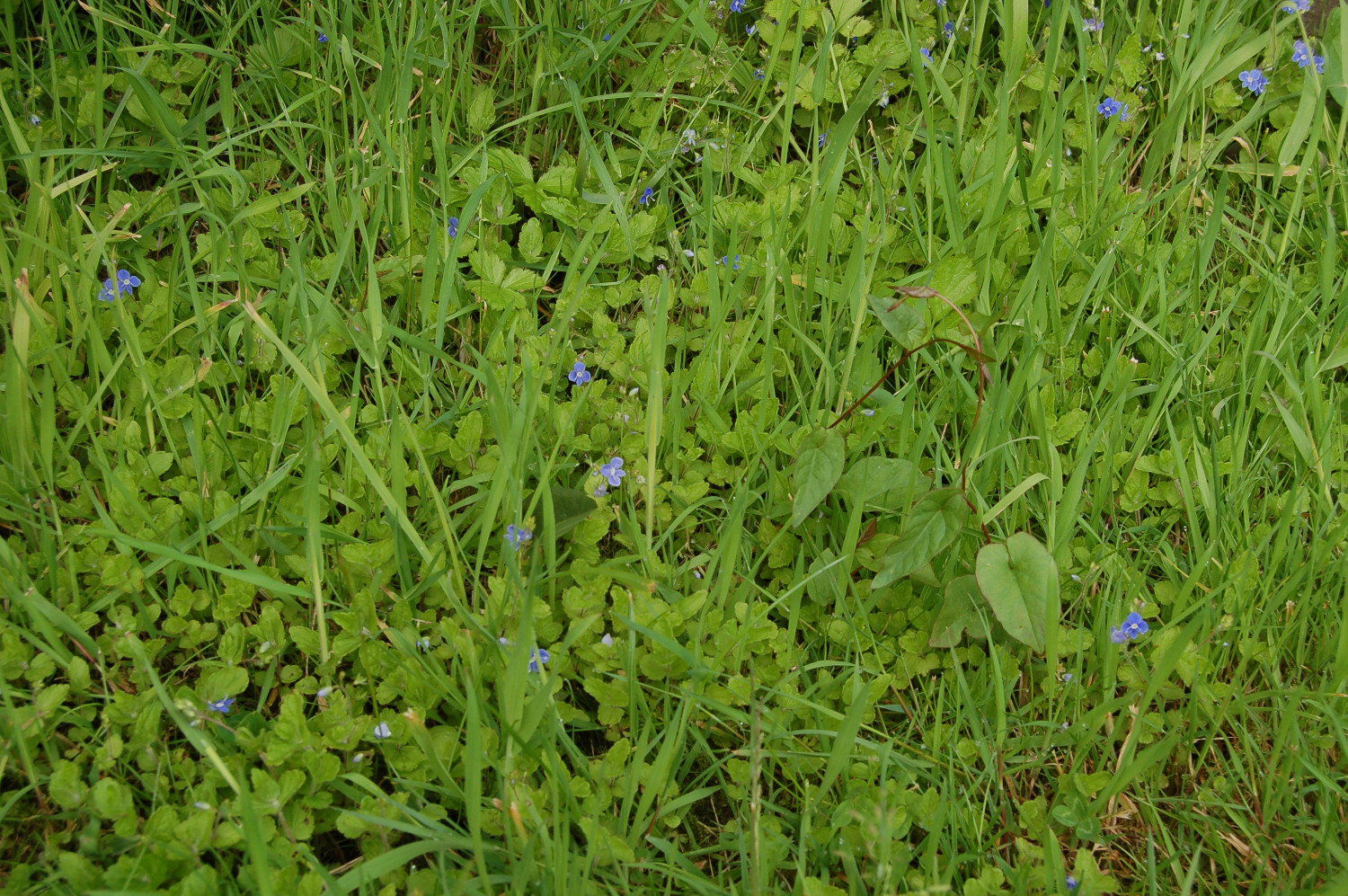 Weeds greenthumb lawn treatment service speedwell dhlflorist Image collections