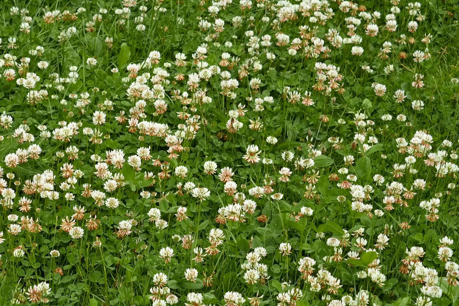 Weeds greenthumb lawn treatment service white clover dhlflorist Image collections